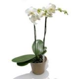 2 Li orkide